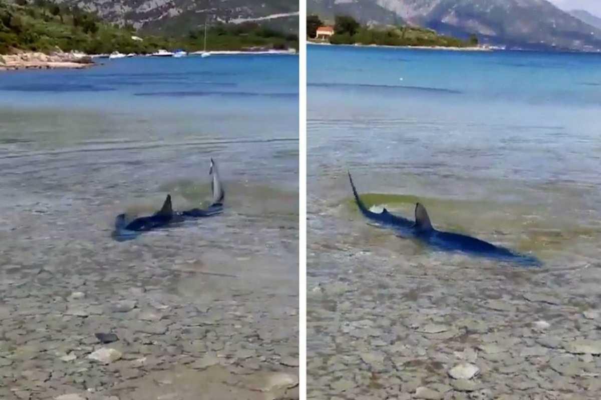 Kétméteres cápa úszott ki Korčula partjánál